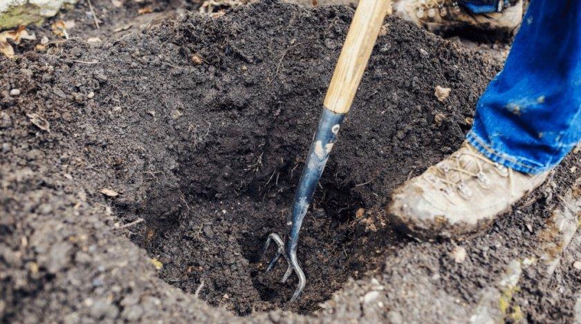 Лунка для посева маньчжурского ореха