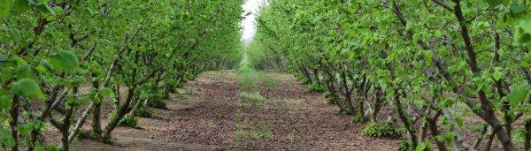 Лесной орех и фундук как цветет выглядит фото