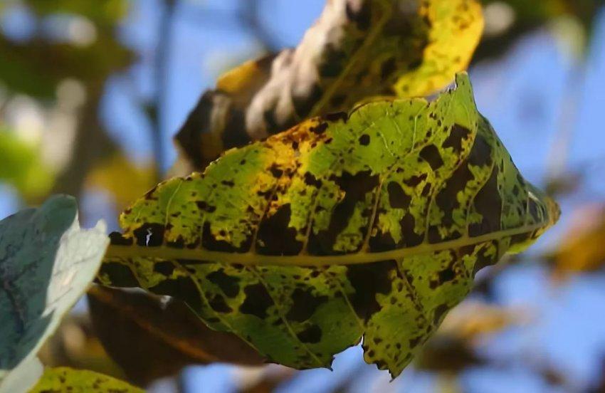 Чёрная пятнистость на листьях ореха