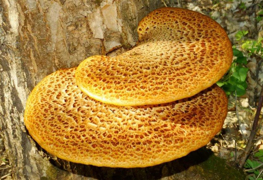 Гриб-тутовник на орехе