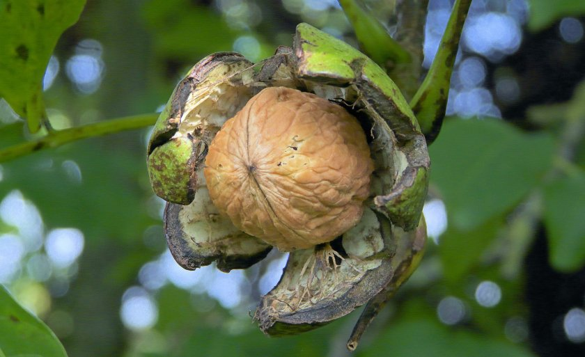 Плод грецкого ореха
