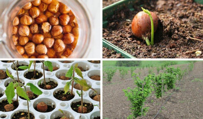 Проращивание ореха