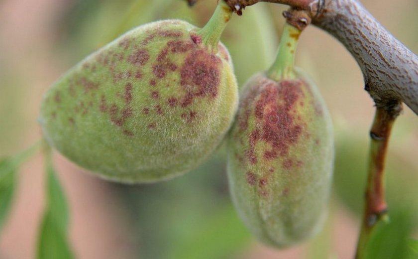 Клястероспориоз миндального ореха