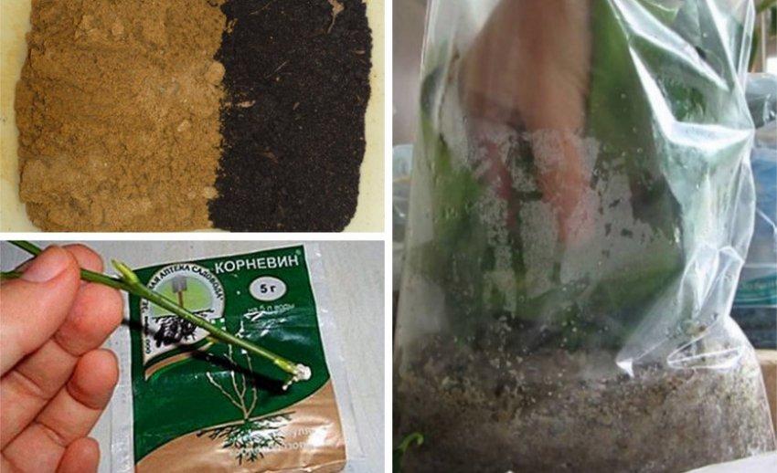 Укоренение черенков в полиэтиленовом пакете