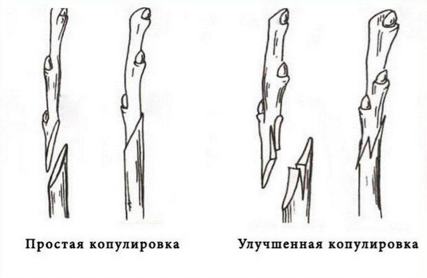 Схема копулировки ореха