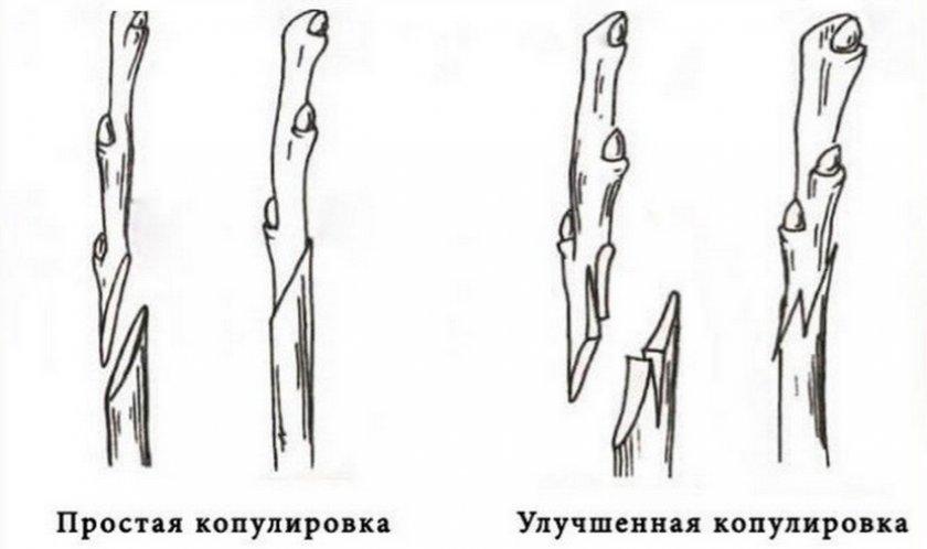 Копулировка дерева