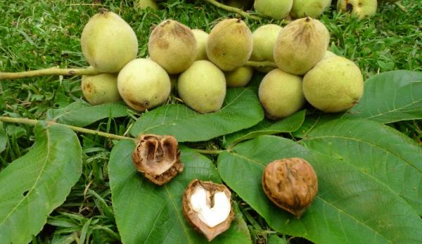 Как вырастить маньчжурский орех из ореха