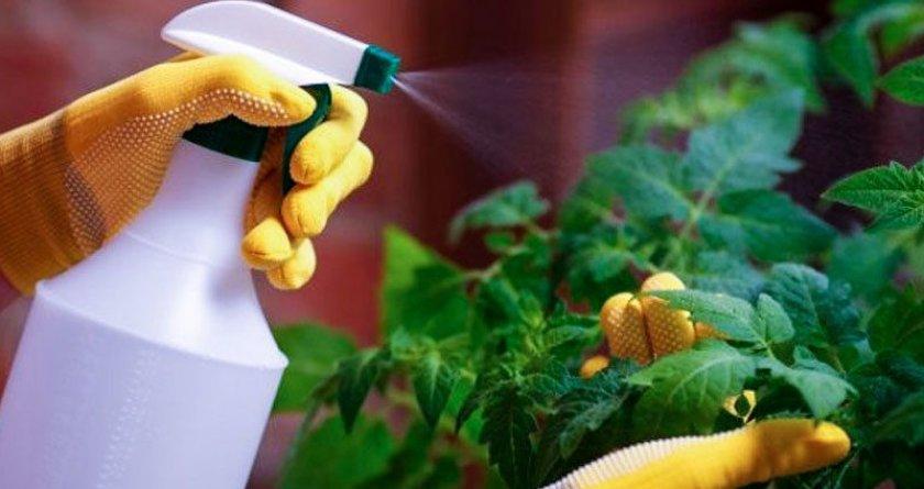 Как выращивать помидоры в домашних условиях на балконе?