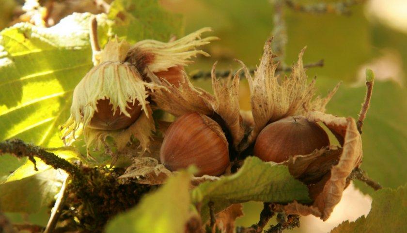 Плоды лесного ореха