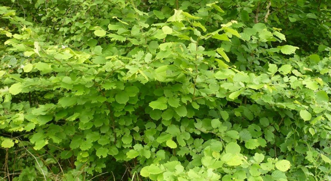 Описание лесного ореха