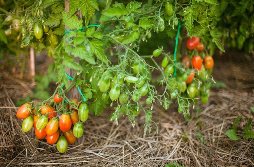 Выращивание томатов Чио Чио Сан