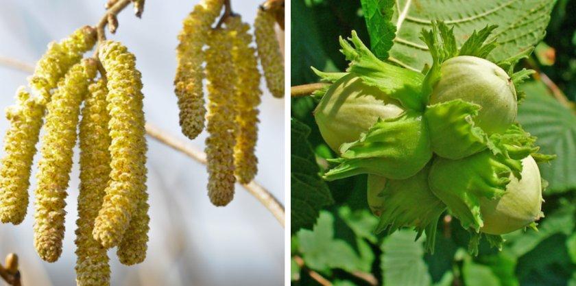Цветение и плодоношение лещины