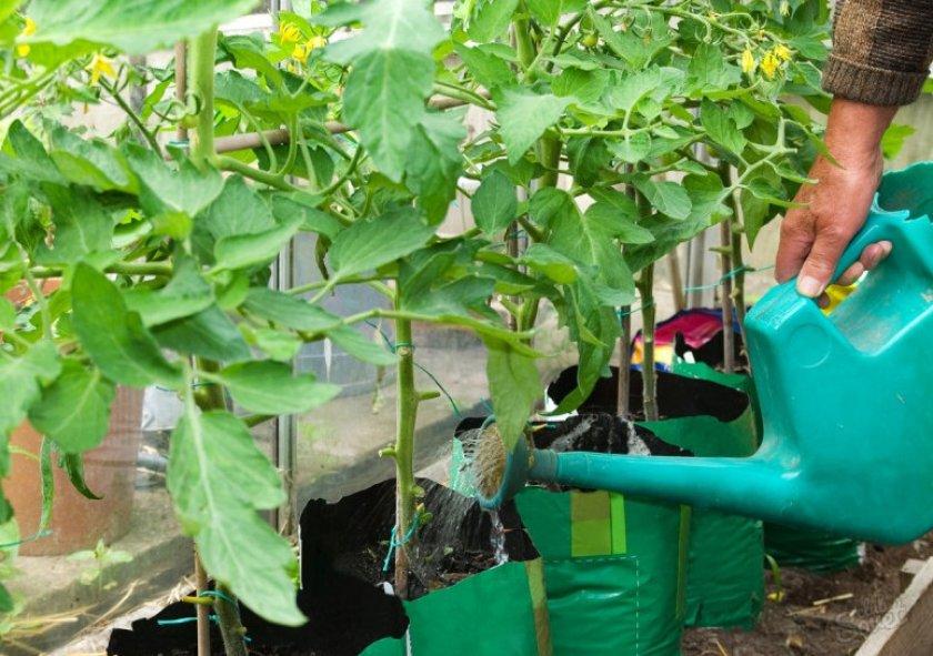 Полив и удобрение томатов