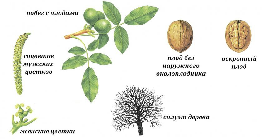 Ботаника грецкого ореха