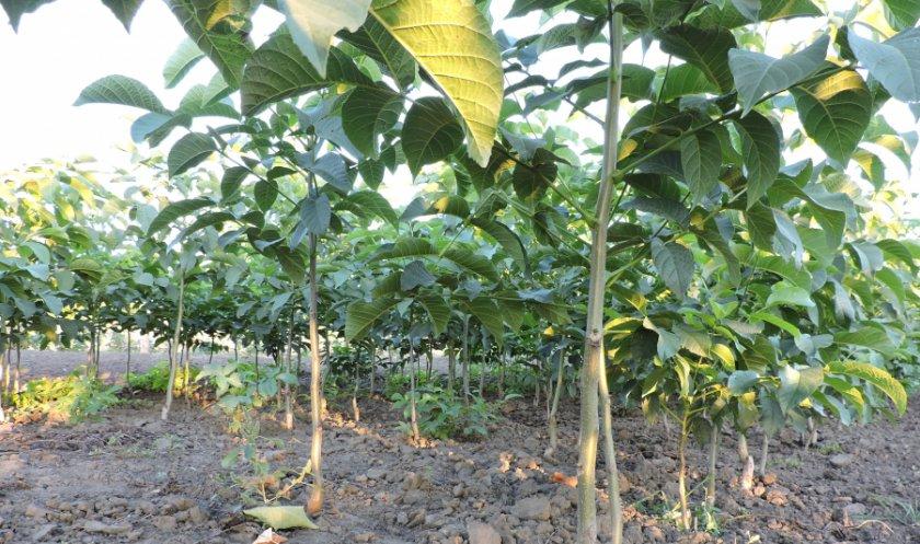Выращивание грецких орехов