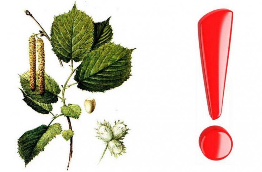 Противопоказания в применении растения
