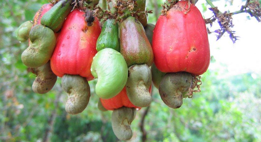 Плоды с орехами кешью