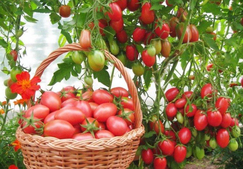 Урожай томатов Чио Чио Сан