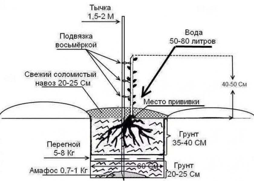 Схема посадки миндаля