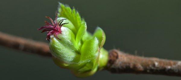 Через сколько лет начинает плодоносить фундук