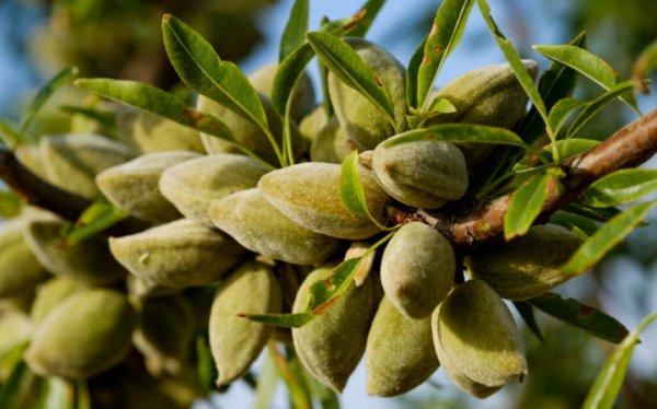 Как выращивать миндаль в домашних условиях{q} – пошаговая инструкция на ydoo.info