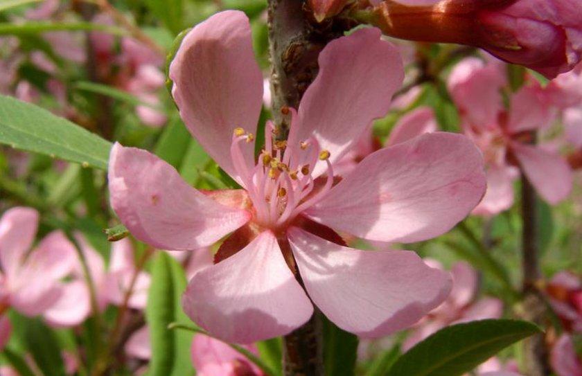 Цветок декоративного миндаля