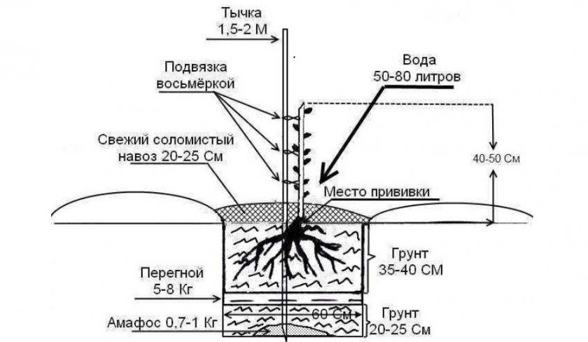 Схема высадки декоративного миндаля в грунт