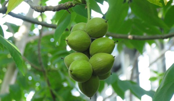 Маньчжурские орехи можно ли есть