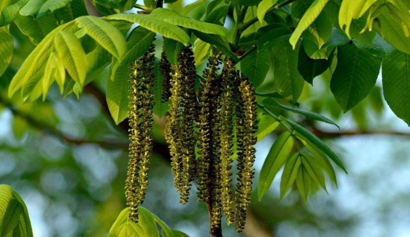 Мужские цветки маньчжурского ореха