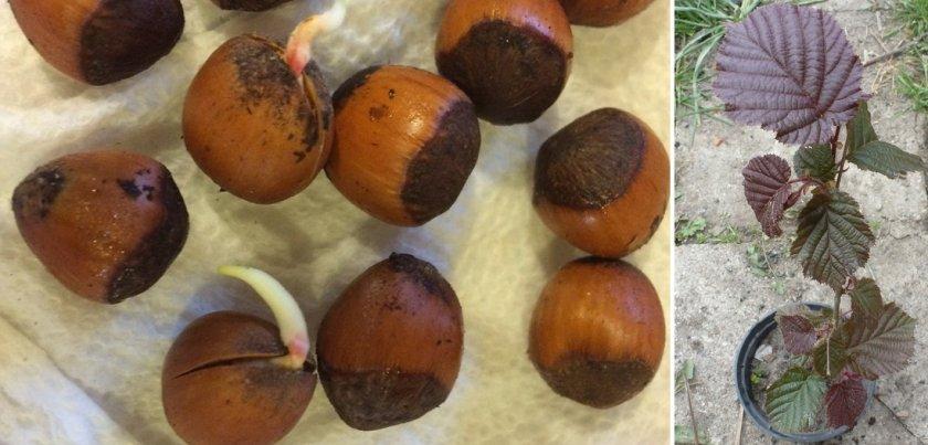 Выращивание фундука в горшке