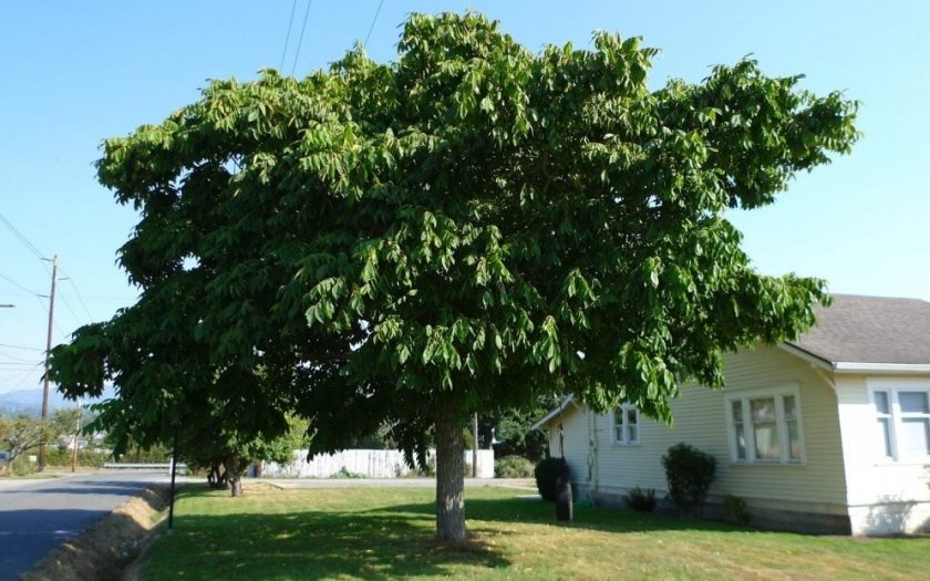 «Одиночество» дерева маньчжурского ореха