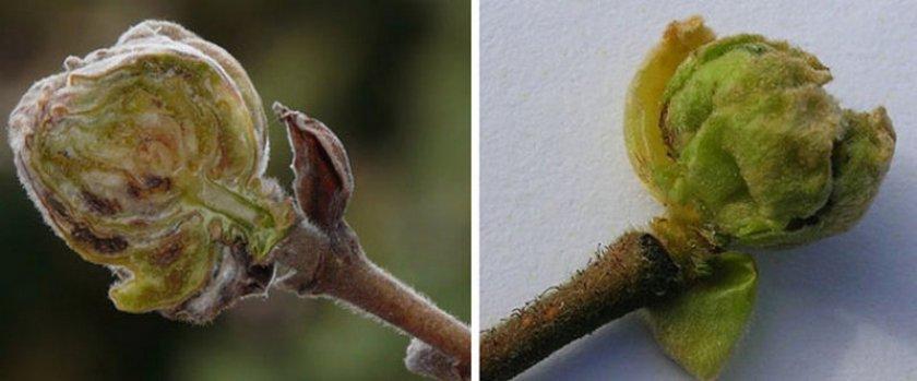 Орешниковый почковый клещ