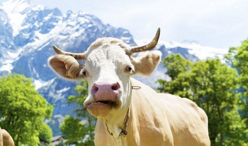 Корова жует жвачку
