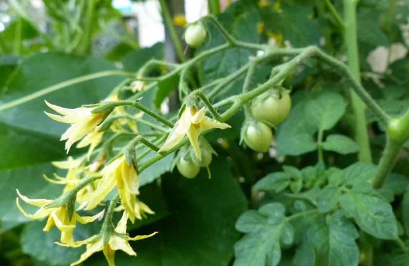 Цветки у помидоров