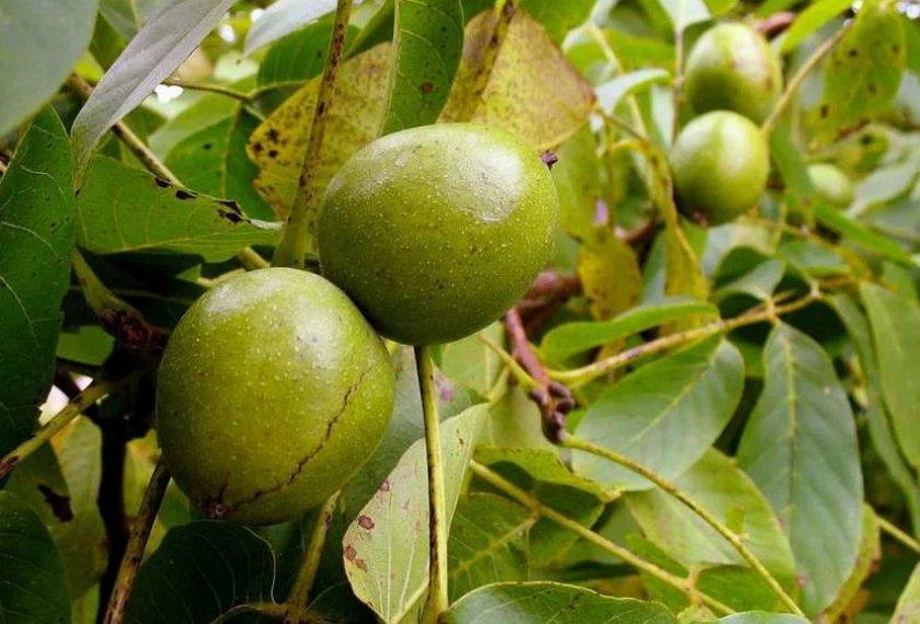 Орех Краснодарский скороплодный