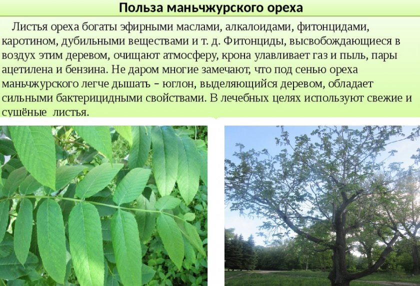Характеристика и описание ореха маньчжурского