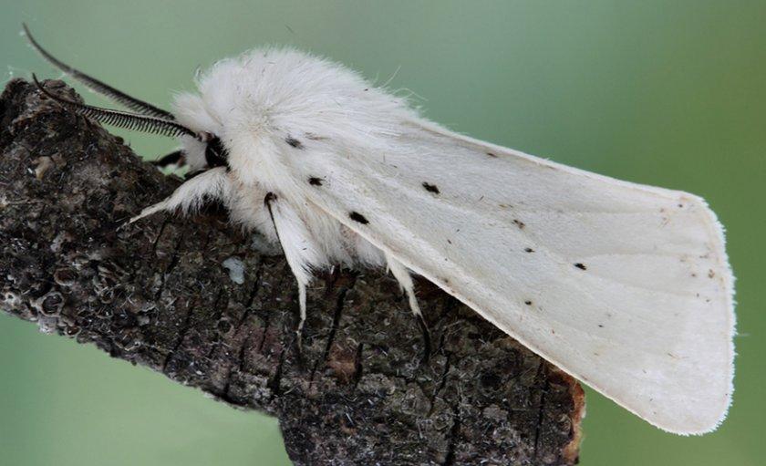 Американская бабочка