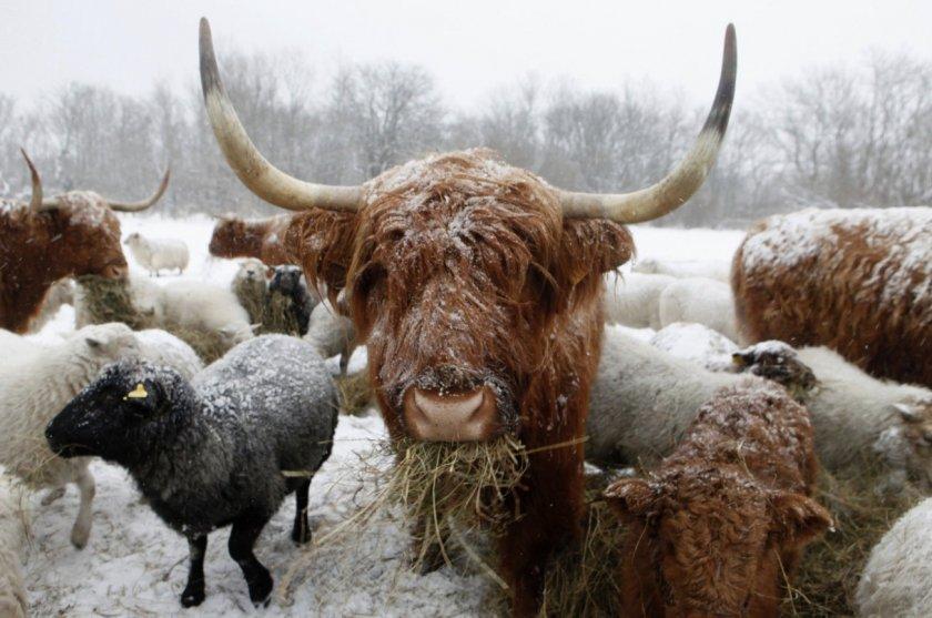 Порода хайленд в зимнее время