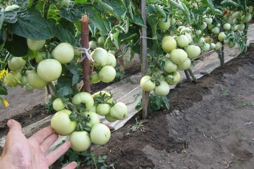 Штамбовый сорт томатов Красная шапочка