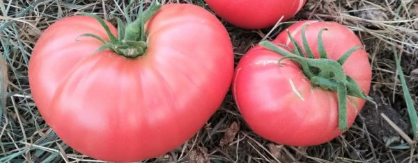 Томат Малиновый гигант F1: характеристика и описание сорта, отзывы тех кто сажал помидоры об их урожайности, видео и фото семян Седек