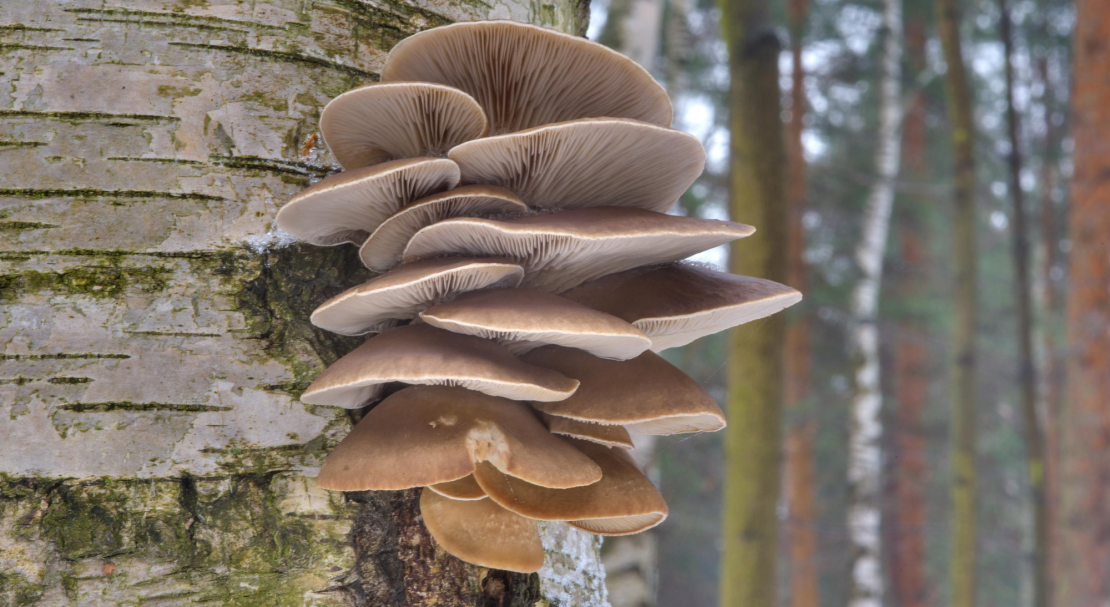 белые грибы растут на деревьях