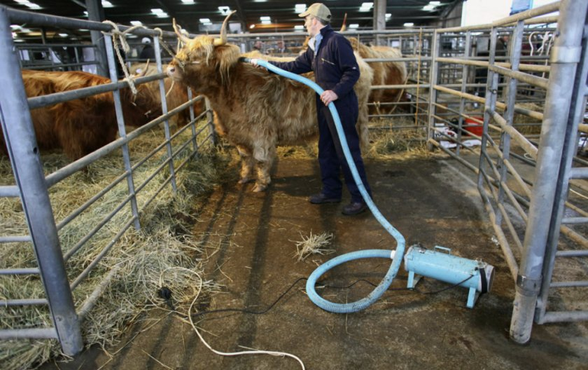 Корова хайленд в стойле