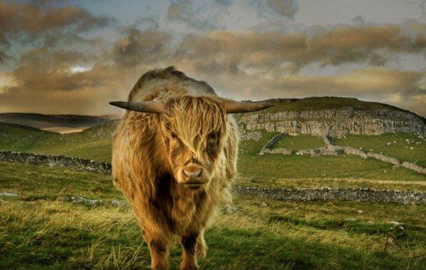 Шотландские коровы шотландская высокогорная корова