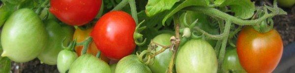Томат Поцелуй герани описание и характеристики сорта урожайность с фото
