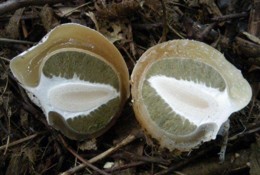 Молодой гриб весёлка