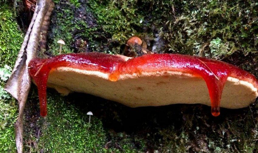 Печёночный гриб