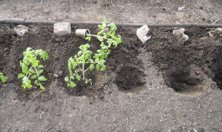 Высадка рассады в открытый грунт