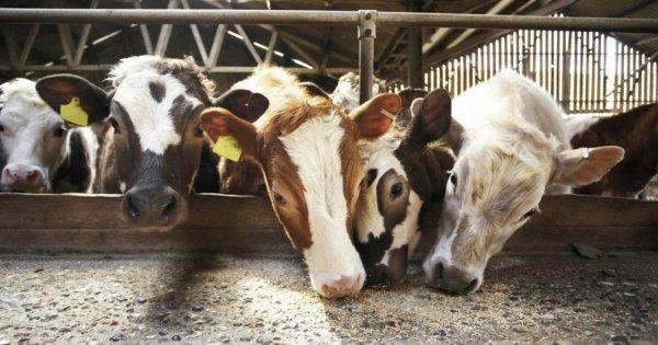 Чем кормить корову перед отелом, после отела, зимой