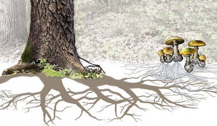 Корень дерева с микоризой грибов