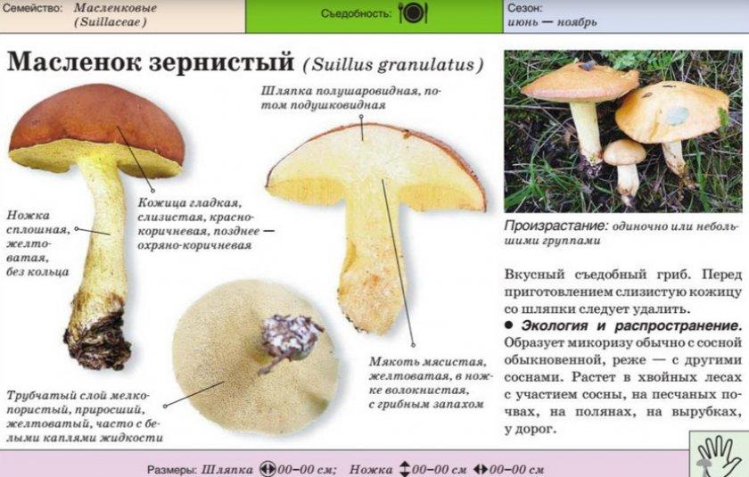 Маслёнок зернистый
